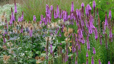 Liatris spicata, vistosas espigas de flores que atraen abejas y mariposas