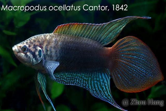 Roundtail Paradisefish
