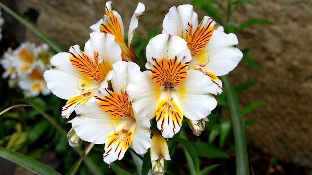 closeup alstroemeria flowers flowerbed green leaves HD flowers