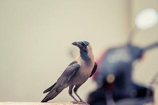 प्यासा कौआ, Trusty crow