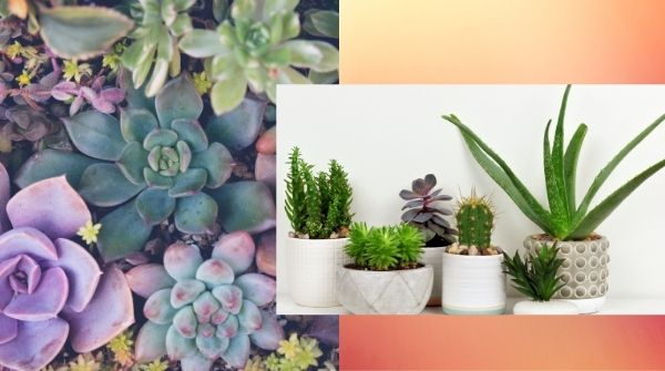 Succulents are available an endless sort of shapes, colors, textures, and sizes for Indoor