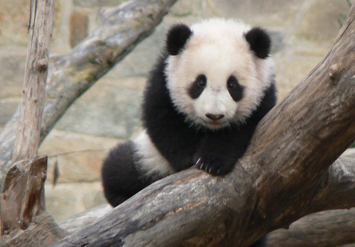 Cute Baby Panda Pictures | Amazing Creatures