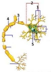 Perhatikan gambar neuron berikut! Yang merupakan dendrit, badan sel, dan akson secara berturut-turut adalah?