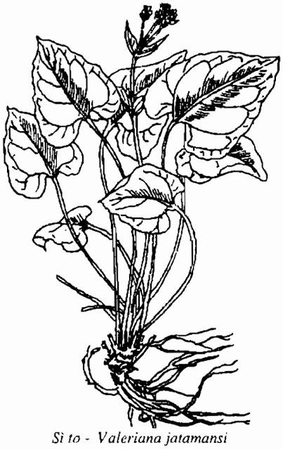 Hình vẽ SÌ TO - Valeriana jatamansi - Nguyên liệu làm Thuốc Ngủ, An Thần, Trấn Kinh