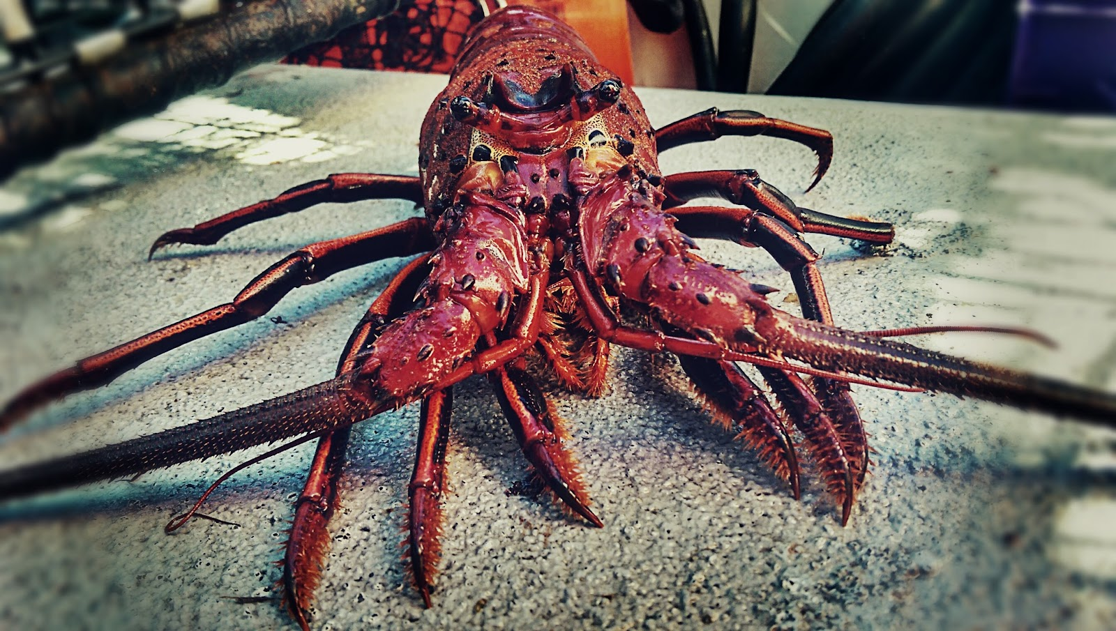 Wild west commercial fishing local seafood san diego for Lobster fishing san diego
