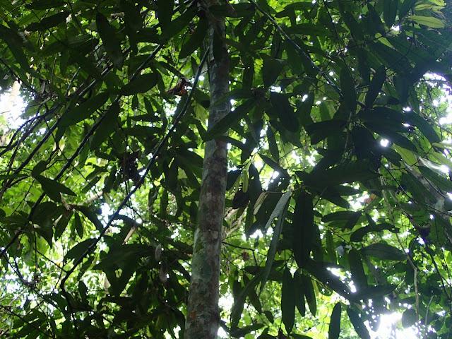 Myristica angustifolia