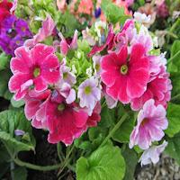 kış-çiçekleri-onbiray-çiçeği