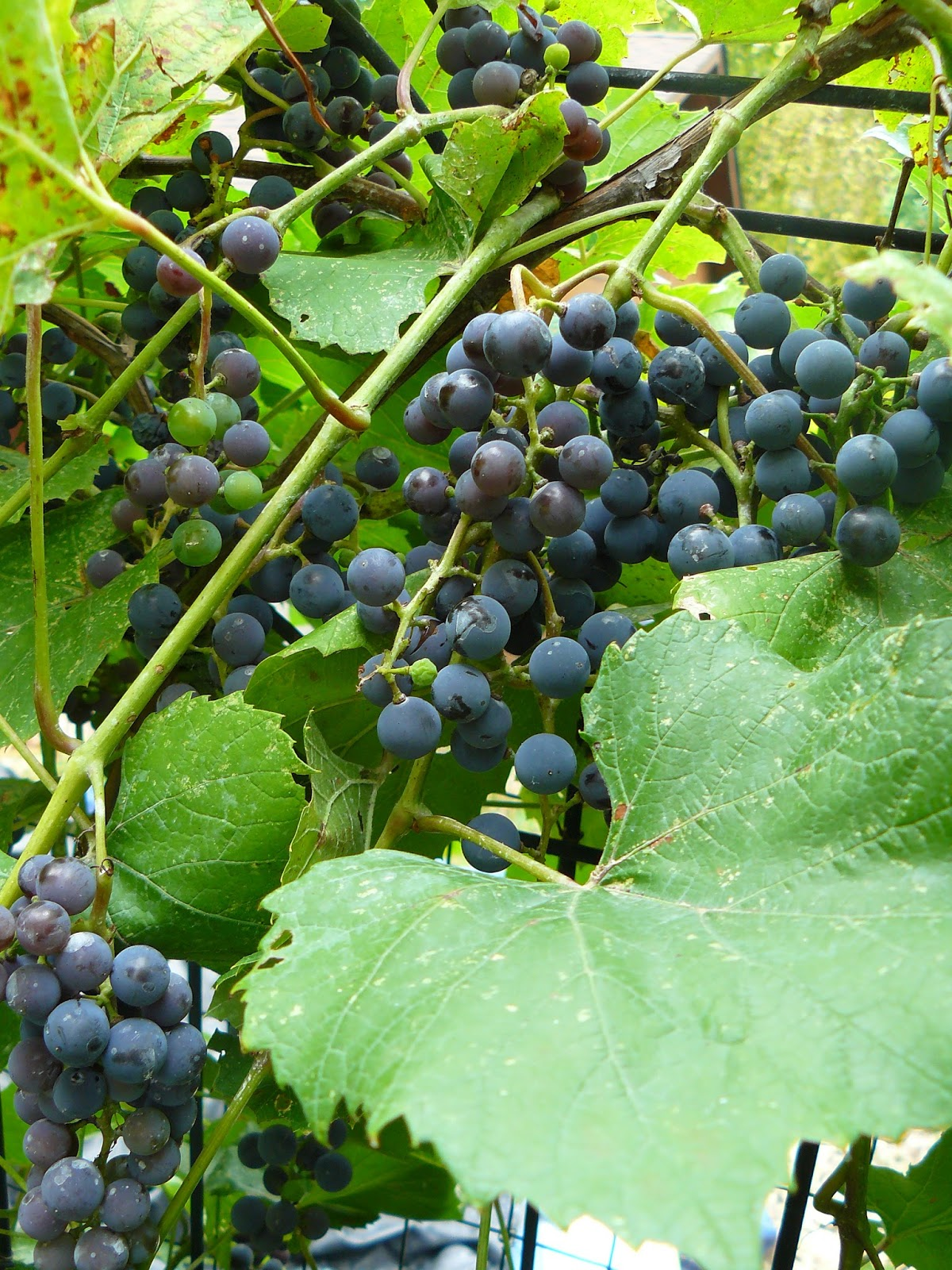 Home En Garden Water Wisely Grapes In The Home Garden
