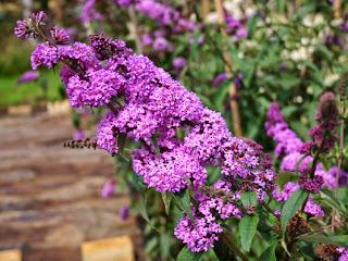 aleja kwiatowa blog ogrodowy ogrodnik kwiaty budleja dawida motyli kwiat. Black Bedroom Furniture Sets. Home Design Ideas