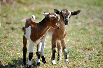 image of baby goats standing in the grass
