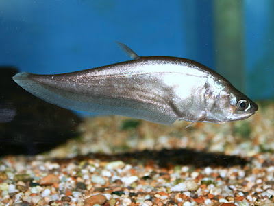 Ikan Belida Jawa