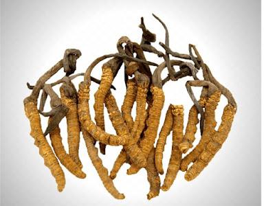 Đông trùng hạ thảo tự nhiên (Cordyceps sinensis)