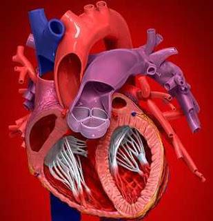 kalp dolaşım sistemi