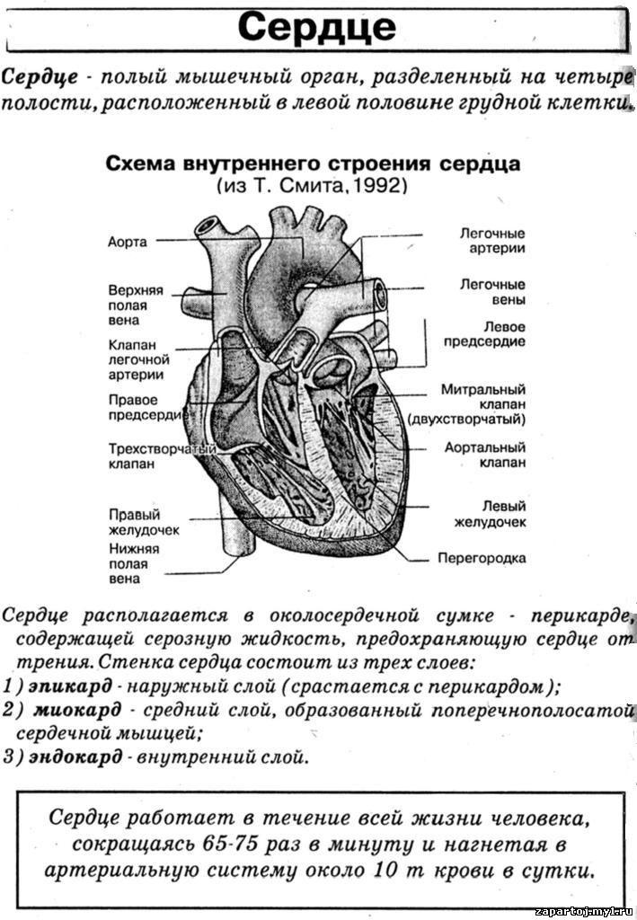 сердце строение шпаргалка
