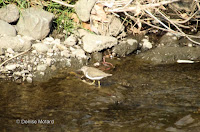 Common sandpiper, Onda River, Naruse, Machida, Japan – © Denise Motard