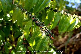 ramos-da-casearia-sylvestris-cobertos-de-frutos