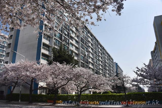 釜山南川洞櫻花
