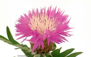 http://fotobabij.blogspot.com/2016/03/chaber-biaawy-centaurea-dealbata-kwiat.html