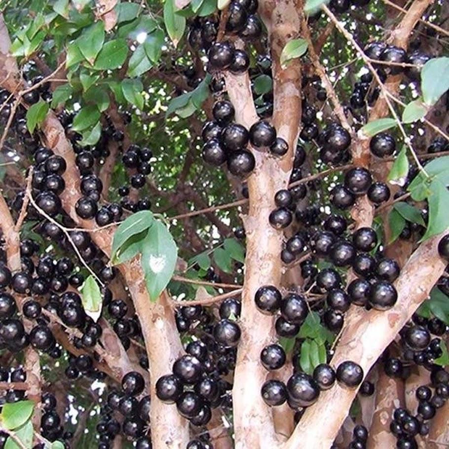 Tanaman Buah Anggur Pohon JABOTICABA Jakarta