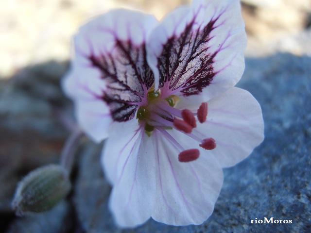 Agujas Erodium cheilanthifolium