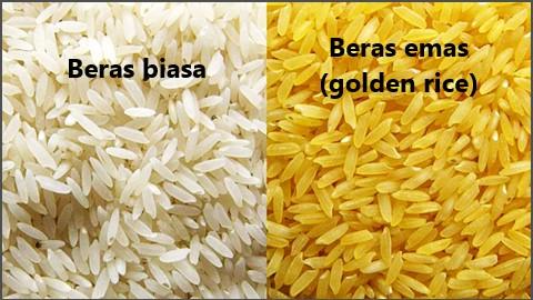 beras emas merupakan beras hasil rekayasa genetika