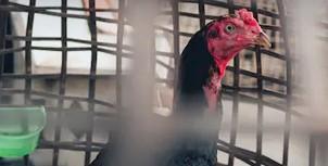 ayam bangkok kuat dipukul