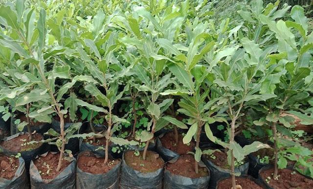 Grafted murang'a 20 macadamia seedlings for sale kenya