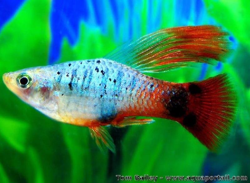 Ikan Platy - 11 Ikan Hias Pemakan Lumut Aquarium