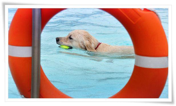 teaching a dog to swim in a pool