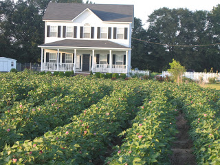 Cotton Fields At Hibiscus House