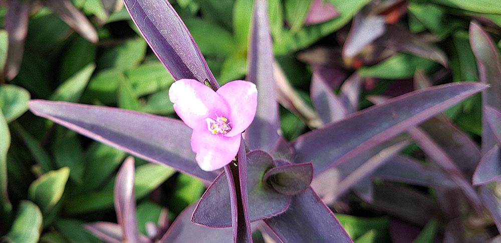 ดอกของต้นหัวใจสีม่วง