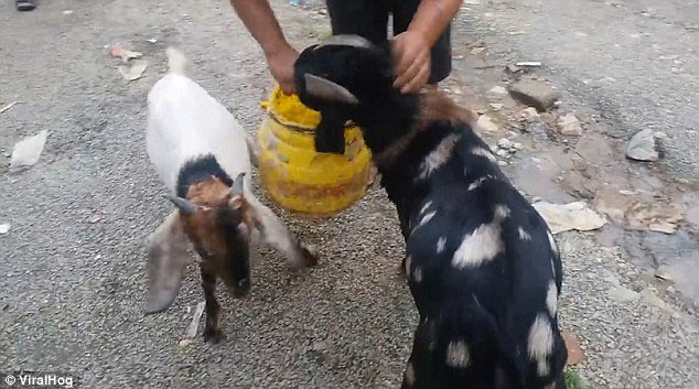 Lol. These two goats somehow got their heads stuck in a jar