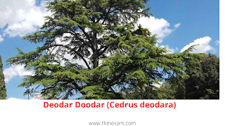 Deodar Doodar (Cedrus deodara)