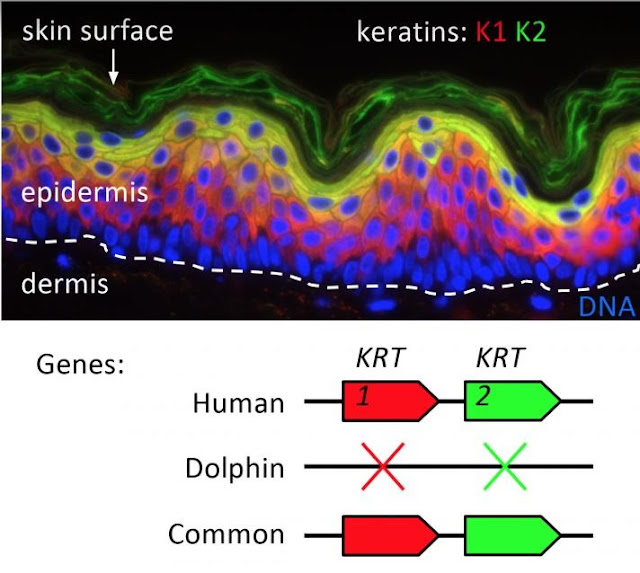 Skin game: Study peels back details on mammalian keratin genes and adaptation to living on land or sea
