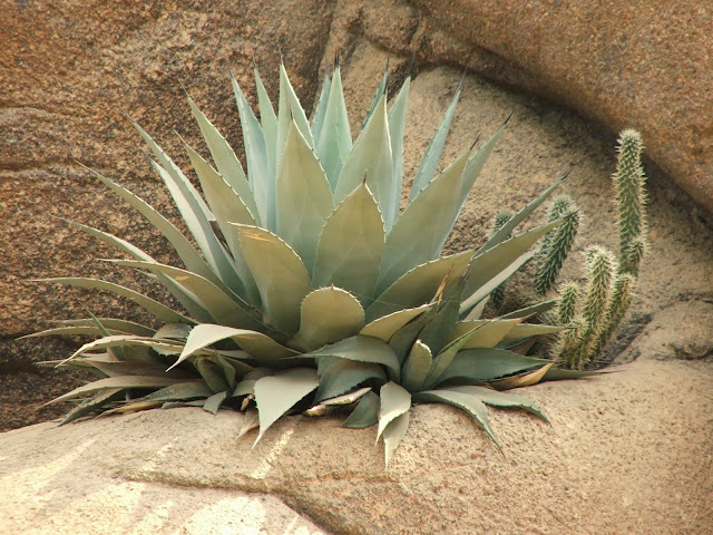 Agave Health Benefits