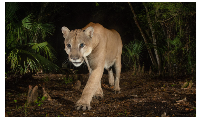 Why are Florida panthers endangered?
