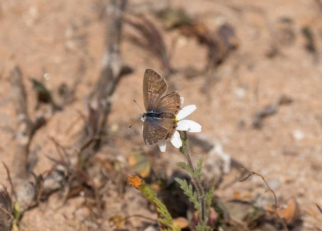 Moroccan Skipper - Souss Massa National Park, Morocco