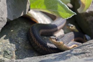 Yılan Resimleri ile ilgili aramalar yılan resmi çizimi  yılan türleri  dünyanın en büyük yılanı  dünyanın en zehirli yılanı  yılan videoları  kobra yılanı  evcil yılan türleri  anakonda