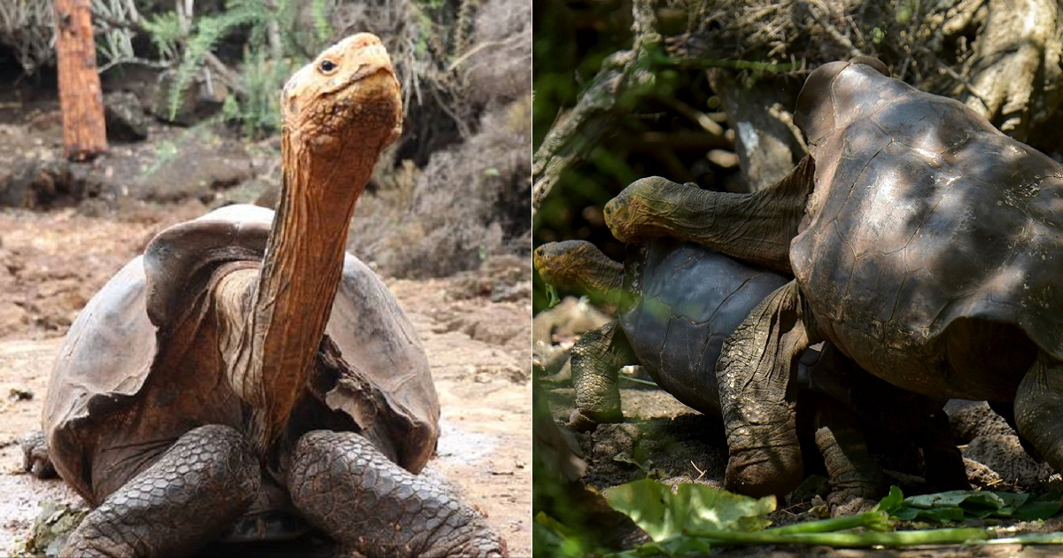 100-Year-Old Tortoise With A Legendary Sex Drive Became The Father Of 800 Saving His Species