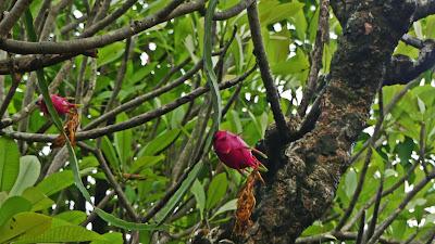 Hanoi Wietnam - smoczy owoc