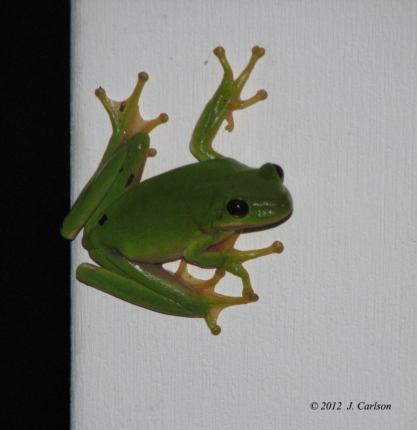 Nature-in-verse: American Green Tree Frog