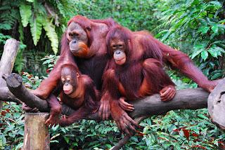 ZOOFILIA - ORANGOTANGO FÊMEA PROSTITUÍDA   Uma orangotango fêmea foi encontrada toda depilada, maquiada, perfumada e acorrentada à cama, onde era abusada sexualmente em casa de prostituição, na Indonésia.