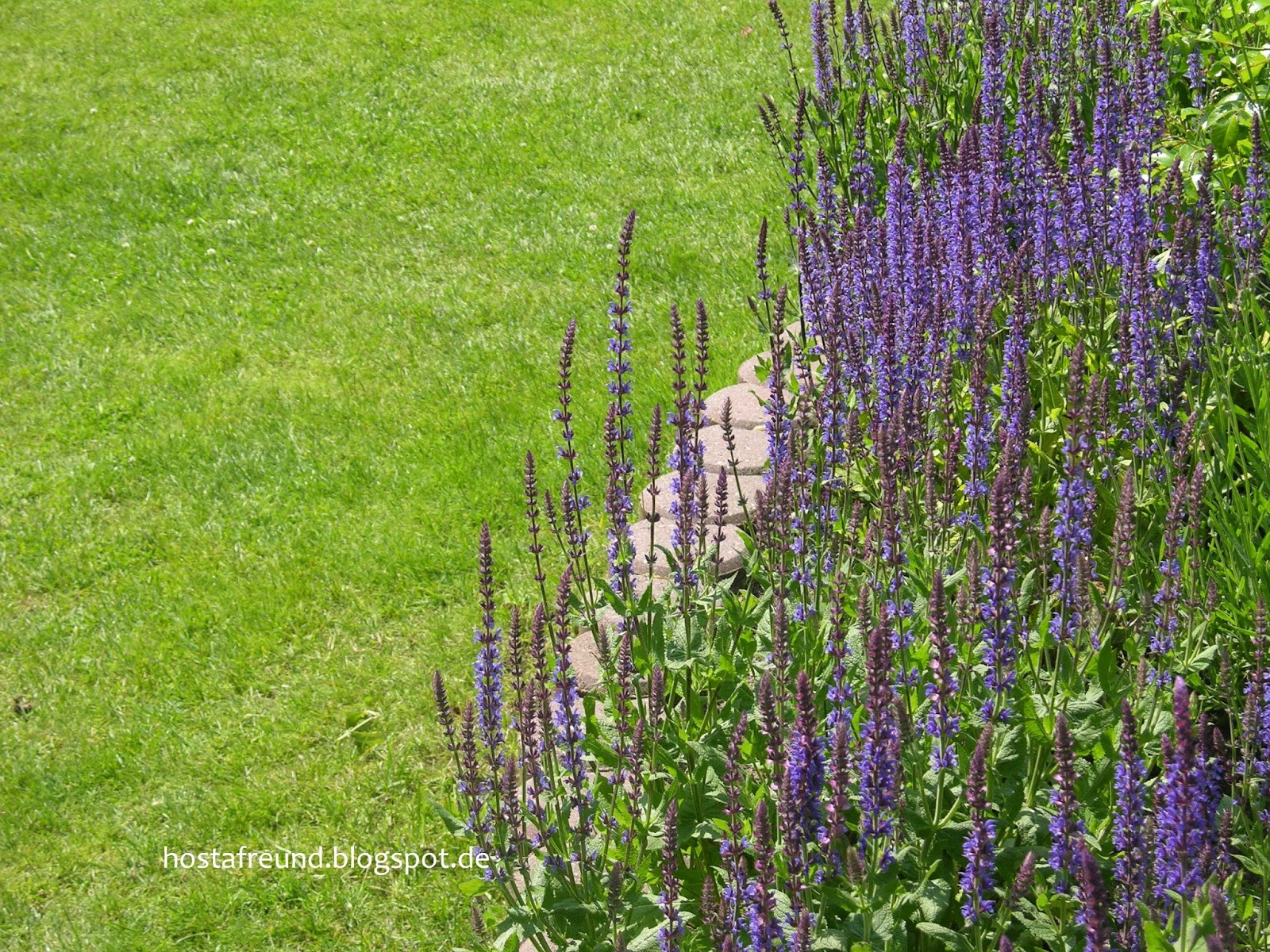 Hosta funkie fotos aus dem garten - Garten fotos ...