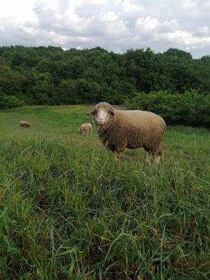 toklu koyun bakımı ve beslemesi