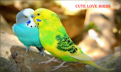 African lovebirds with name - photo#37