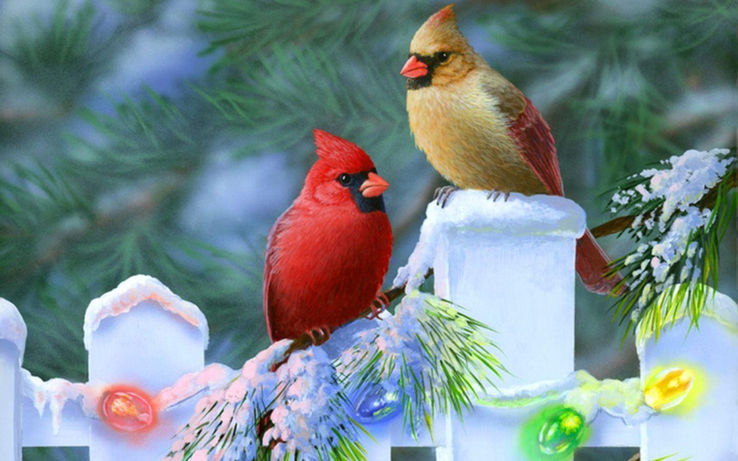 Cardinal Bird Wallpapers birds wallpaper