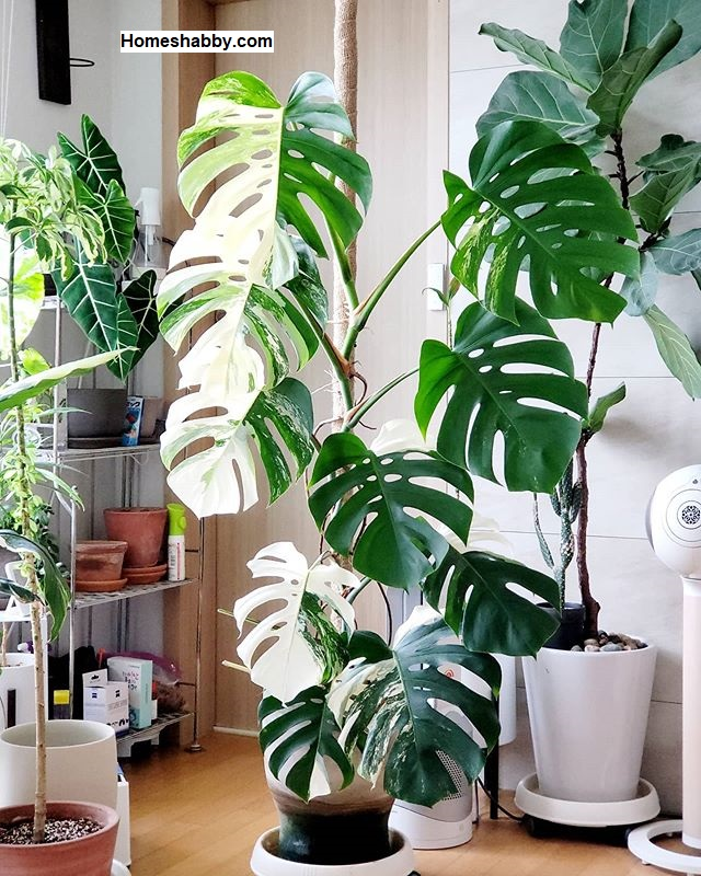 Mengenal 6 Ragam Jenis Monstera Atau Janda Bolong Tanaman Hias Yang Cantik Dan Kekinian Homeshabby Com Design Home Plans Home Decorating And Interior Design