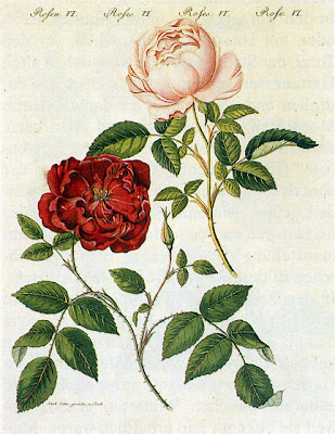 Slater Crimson China Rose by Pierre Joseph Redoute