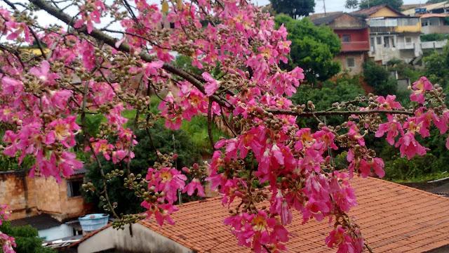 Flores rosas da paineira