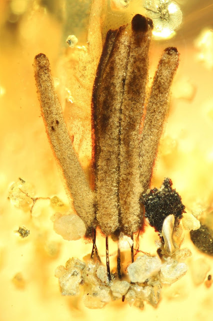 100 million years in amber: Researchers discover oldest fossilized slime mould